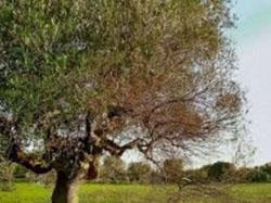 xylella_olive2_250
